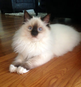 Beautiful Ragdoll cats and kittens for sale in Bay Area