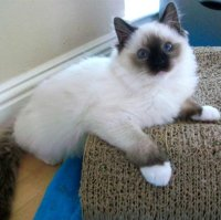 Pointed Mitted Ragdoll Cat