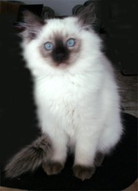 Pointed Ragdoll Cat